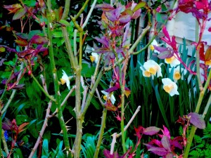 daffodils-and-rose-thorns