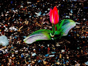 first-tulip-of-spring