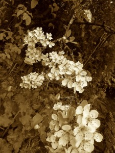 pear blossoms2