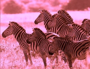 herd of zebra b & w