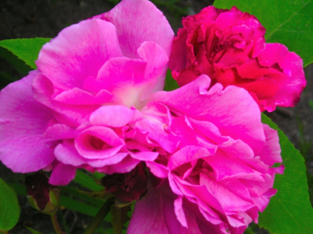 partial pink roses